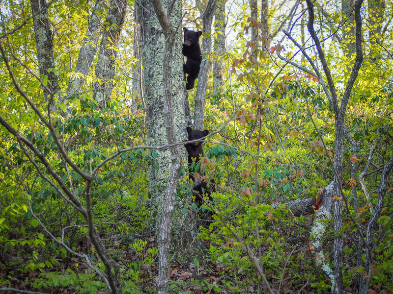 Bear cubs climbing a tree, Shenandoah National Park. Photo by Bram Reusen.