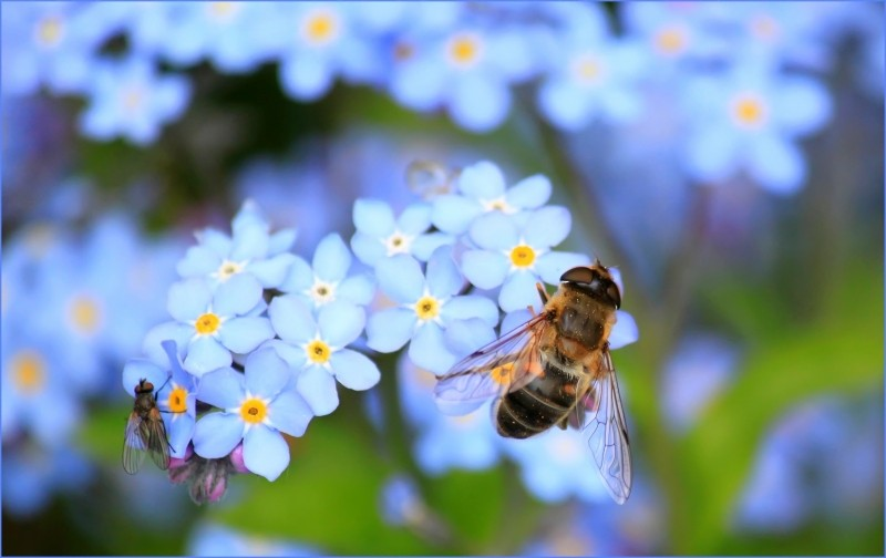 A bee on a blue flower.