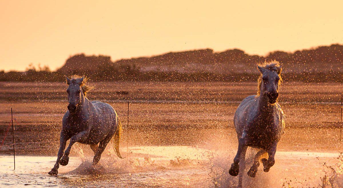 Horses in Camargue Photo credit Luigi Cavasin