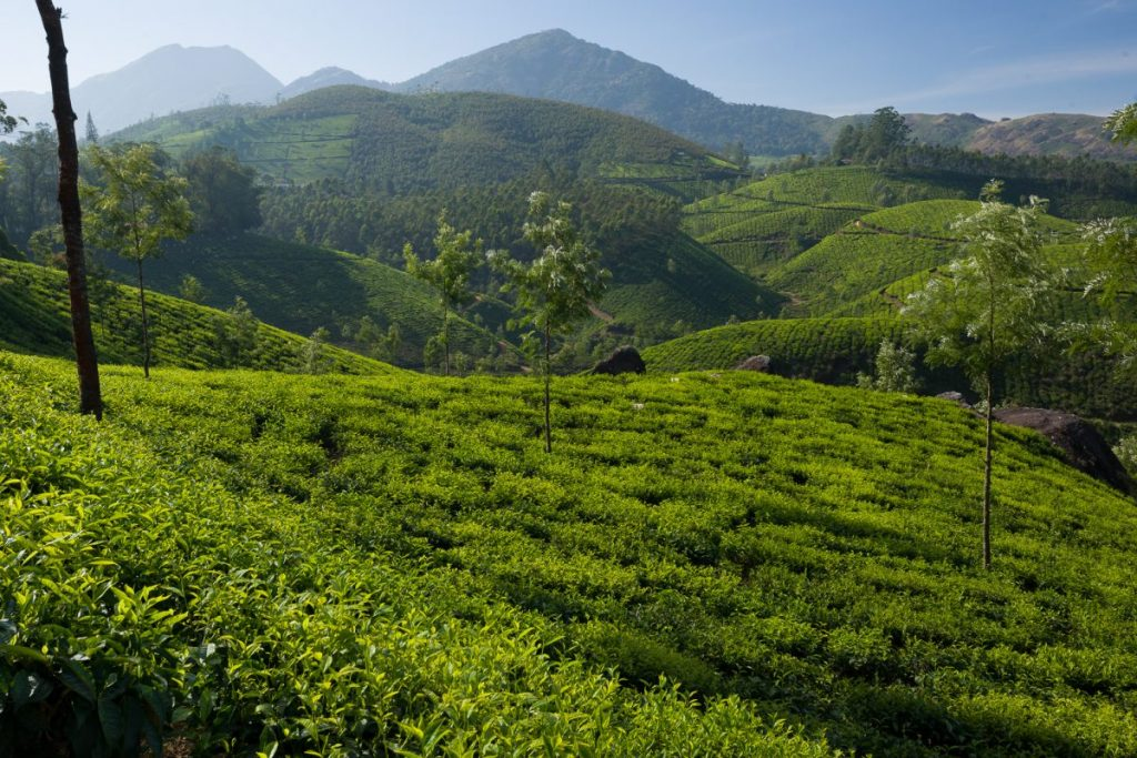 Fields of tea covering rolling hillsides at a tea plantation outside of Munnar, Kerala, India. Photo by Steve Davey