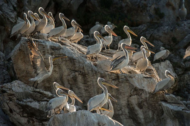 Dalmatian Pelican. Golem Grad island, Prespa Lakes National Park, Macedonia. Photo by Roberto Nistri
